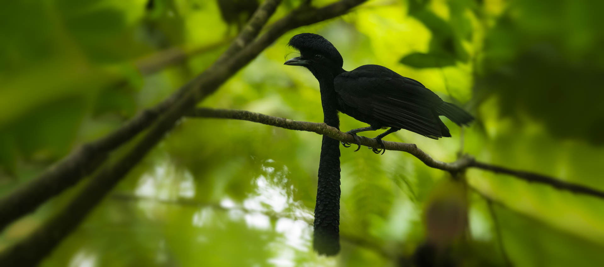 MCF Umbrella Bird